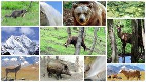 Alpiene faunamontering stock footage