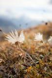 Alpiene flora bij daling Stock Foto