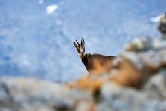 Alpiene gemzen in de Alpen royalty-vrije stock afbeeldingen