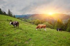 Alpiene Koe De koeien worden vaak gehouden op landbouwbedrijven en in dorpen Deze I stock afbeelding