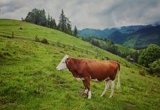 Alpiene Koe De koeien worden vaak gehouden op landbouwbedrijven en in dorpen Deze I royalty-vrije stock afbeeldingen