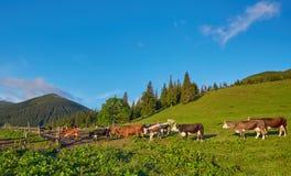 Alpiene Koe De koeien worden vaak gehouden op landbouwbedrijven en in dorpen Deze I stock fotografie