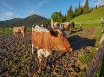Alpiene Koe De koeien worden vaak gehouden op landbouwbedrijven en in dorpen Dit is nuttige dieren royalty-vrije stock fotografie