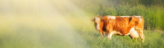 Alpiene Koe De koeien worden vaak gehouden op landbouwbedrijven en in dorpen Dit is nuttige dieren De koeien geven melk is nuttig royalty-vrije stock fotografie