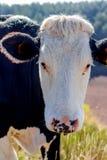 Alpiene koe in zijn weiland Royalty-vrije Stock Foto's