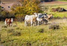 Alpiene koe in zijn weiland Royalty-vrije Stock Foto