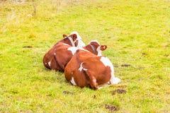 Alpiene koe in zijn weiland Stock Afbeelding