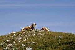 Alpiene koeien Stock Foto's