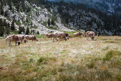 Alpiene koeien Royalty-vrije Stock Fotografie