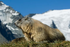 Alpiene marmot Royalty-vrije Stock Foto