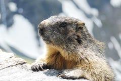 Alpiene marmot royalty-vrije stock fotografie