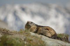 Alpiene marmot Stock Foto