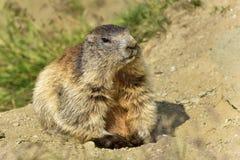 Alpiene marmot Stock Afbeelding