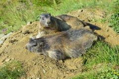 Alpiene marmot stock foto's