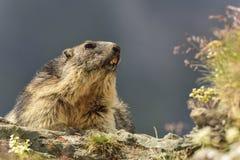 Alpiene marmot stock fotografie