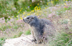 Alpiene marmot Royalty-vrije Stock Foto