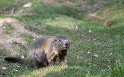 Alpiene marmot die zich in het groene gras bevinden Royalty-vrije Stock Foto's