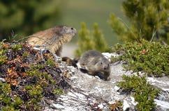 Alpiene marmot en zijn jongelui Royalty-vrije Stock Afbeeldingen