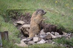 Alpiene marmot in het natuurlijke milieu royalty-vrije stock foto's