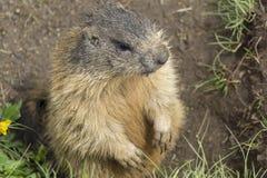 Alpiene marmot in het natuurlijke milieu stock afbeeldingen