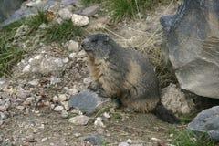 Alpiene marmot, Marmota-marmota Royalty-vrije Stock Afbeeldingen