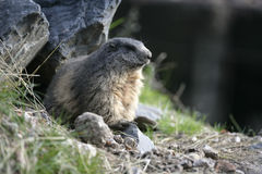 Alpiene marmot, Marmota-marmota Stock Afbeeldingen