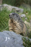 Alpiene marmot, Marmota-marmota Royalty-vrije Stock Foto