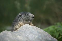 Alpiene marmot, Marmota-marmota Royalty-vrije Stock Afbeelding