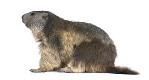 Alpiene Marmot - marmota Marmota (4 jaar oud) Stock Foto