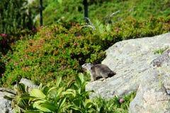 Alpiene Marmot (marmota Marmota) Royalty-vrije Stock Afbeeldingen
