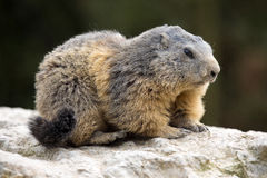Alpiene marmot, Marmota Marmota, één van de grote knaagdieren Royalty-vrije Stock Fotografie