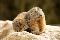 Alpiene marmot, Marmota Marmota, één van het grote knaagdier Royalty-vrije Stock Fotografie