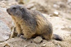 Alpiene marmot, Marmota Marmota, één van het grote knaagdier Stock Afbeelding