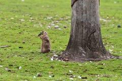Alpiene marmot, marmotamarmota, in de dierentuin stock foto