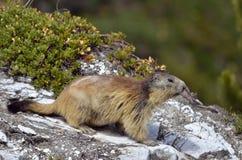 Alpiene marmot op rots Royalty-vrije Stock Afbeelding
