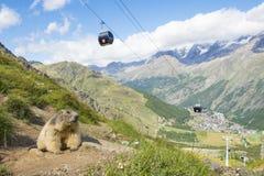 Alpiene marmot in zijn omgeving met op de achtergrond een kabelbaan en het dorp van Saas-prijs in Zwitserland royalty-vrije stock foto's