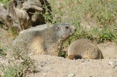 Alpiene marmotten Stock Foto