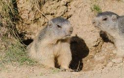 Alpiene marmotten Royalty-vrije Stock Afbeeldingen
