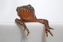 Alpiene newt stock foto