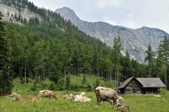 Alpiene Plattelandshuisje & Koeien Royalty-vrije Stock Foto
