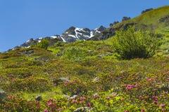 Alpiene Rozen in de Zomer, Oostenrijk stock foto