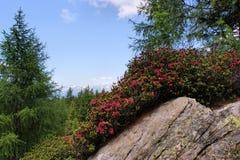 Alpiene rozen op een rots Royalty-vrije Stock Foto's