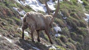 Alpiene steenbok stock video