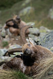 Alpiene steenbok Stock Afbeelding
