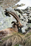 Alpiene steenbok Royalty-vrije Stock Foto's