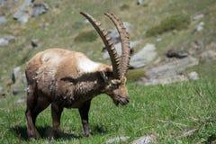 Alpiene steenbok Stock Foto's
