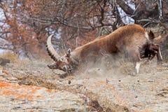Alpiene steenbok & x28; Capra ibex& x29; het vechten - Italiaanse Alpen Stock Foto's