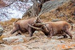 Alpiene steenbok & x28; Capra ibex& x29; het vechten - Italiaanse Alpen Royalty-vrije Stock Foto