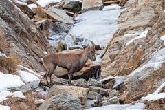 Alpiene steenbok & x28; Capra ibex& x29; - Italiaanse Alpen Stock Foto's