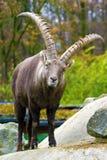 Alpiene steenbok (Capra-steenbok) Royalty-vrije Stock Afbeelding